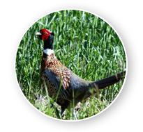 Wild pheasant Hunt in South Dakota