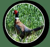 Wild pheasant Hunt in South Dakota