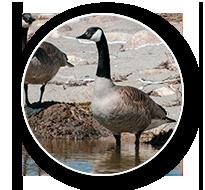 South Dakota Canada Goose Hunts