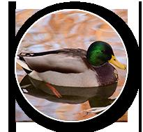 South Dakota Duck Hunts